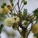 Senegalia berlandieri - Photo (c) Tripp Davenport, כל הזכויות שמורות