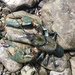 New River Crayfish - Photo (c) Greg Myers, all rights reserved