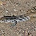 Plateau Spotted Whiptail - Photo (c) Tripp Davenport, all rights reserved