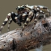 White-cheeked Jumping Spiders - Photo (c) Jeff Heard, all rights reserved