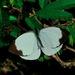 Leptophobia aripa balidia - Photo (c) Maristela Zamoner, todos los derechos reservados