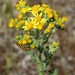 Ragwort - Photo (c) Sylvain Niavlys, all rights reserved