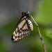 Mariposa Mexicana - Photo (c) Topiltzin Contreras, todos los derechos reservados