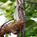 Northern Potoo - Photo (c) Rolando Chavez, all rights reserved