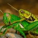 Antandrus viridis - Photo (c) Javier Perez Cid, όλα τα δικαιώματα διατηρούνται