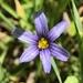 Sisyrinchium idahoense - Photo (c) samiafoster, todos los derechos reservados