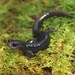 Plethodon variolatus - Photo (c) mikeygraz, todos los derechos reservados, uploaded by Michael Graziano