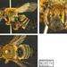 Megachile ferruginea - Photo (c) Christophe Barthelemy, all rights reserved, uploaded by Christophe Barthélémy