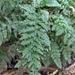 Vandenboschia kalamocarpa - Photo (c) Yi Lin Lee, all rights reserved