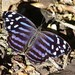 Bluewing Butterflies - Photo (c) Tripp Davenport, all rights reserved