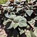 Perilla frutescens - Photo (c) Ginger Bellerud-Corthell, todos los derechos reservados