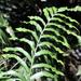Phanerophlebia nobilis - Photo (c) Jorge Rojas S., todos los derechos reservados