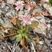 Lewisia cotyledon cotyledon - Photo (c) Henri Holbrook, all rights reserved