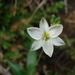 Echeandia nana - Photo (c) guadalupe_cornejo_tenorio, all rights reserved