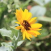 Silverleaf Sunflower - Photo (c) Michael Price, some rights reserved (CC BY-NC-ND)