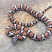 Eastern Milksnake - Photo (c) Susan S Felts, all rights reserved
