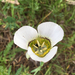 Gunnison's Mariposa Lily - Photo (c) Lindsey Elizabeth Phillips, all rights reserved