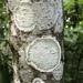 Cryptothecia striata - Photo (c) Ryan Cooke, todos los derechos reservados
