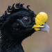 Crested Curassows - Photo (c) Ryan Andrews, all rights reserved