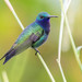 Sapphire-throated Hummingbird - Photo (c) Ryan Andrews, all rights reserved