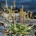 Plantago maritima - Photo (c) Megan Timmons, todos los derechos reservados