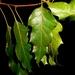 Quercus runcinatifolia - Photo (c) Lex García, todos os direitos reservados