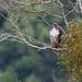 Buteo jamaicensis costaricensis - Photo (c) Ryan Andrews, todos los derechos reservados