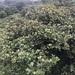 Pleurothyrium palmanum - Photo (c) taxonomo, todos los derechos reservados