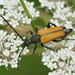 Tawny Longhorn Beetle - Photo (c) Henk Wallays, all rights reserved