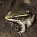 Golden-backed Frogs - Photo (c) Toby Hibbitts, all rights reserved
