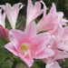 amaryllis, onions, and allies - Photo (c) flickerer2004, all rights reserved