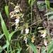 Calanthe arcuata - Photo (c) bieshine, all rights reserved