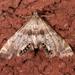 Petrophila fulicalis - Photo (c) Mark Etheridge, kaikki oikeudet pidätetään