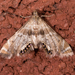 Feather-edged Petrophila Moth - Photo (c) Mark Etheridge, all rights reserved