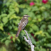 Variegated Flycatcher - Photo (c) Ryan Shaw, all rights reserved