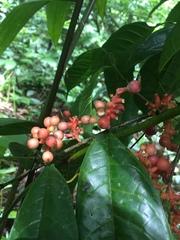 Sorocea affinis image