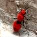 Dasymutilla erythrina - Photo (c) David Lemus Martinez, todos los derechos reservados