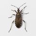 Dicranocephalus agilis - Photo (c) Konstantinos Kalaentzis, todos los derechos reservados