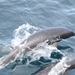 Northern Right Whale Dolphin - Photo (c) Nereus, all rights reserved