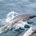 Delfín Liso Norteño - Photo (c) Nereus, todos los derechos reservados