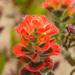 Castilleja latifolia - Photo (c) Jeremiah Degenhardt, todos los derechos reservados