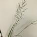 Coleataenia - Photo (c) Lacy Dolan, todos los derechos reservados