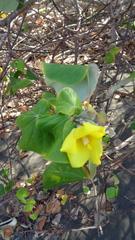 Hibiscus tiliaceus image