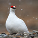 Rock Ptarmigan - Photo (c) Ryan Shaw, all rights reserved