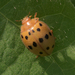 Mexican Bean Beetle - Photo (c) Mark Etheridge, all rights reserved