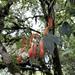 Aeschynanthus hookeri - Photo (c) Flora Lan, todos los derechos reservados