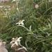 Leontopodium hayachinense - Photo (c) 近藤行仁, todos los derechos reservados