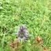 Swertia perennis cuspidata - Photo (c) 近藤行仁, todos los derechos reservados