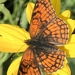 Northern Checkerspot - Photo (c) Lucy Williams, all rights reserved