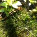 Leptodictyum riparium - Photo (c) Randy Mitchell, todos los derechos reservados